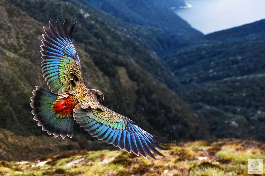 Kea bird New-Zealand by Elise Fournier travel Photographer